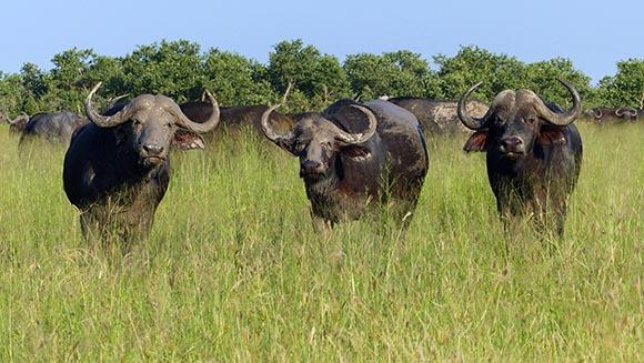 Three cape buffalo, one with a muddy head.
