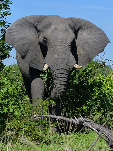 Elephant coming at ya.