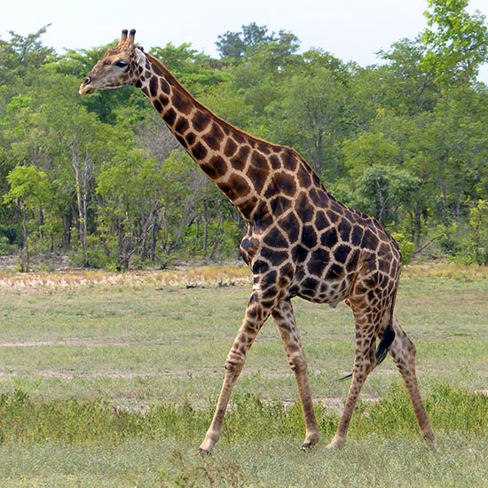 This giraffe's spots are brown.