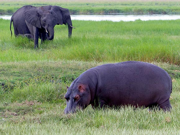 Hippo and elephants eating grass along the Chobe River.