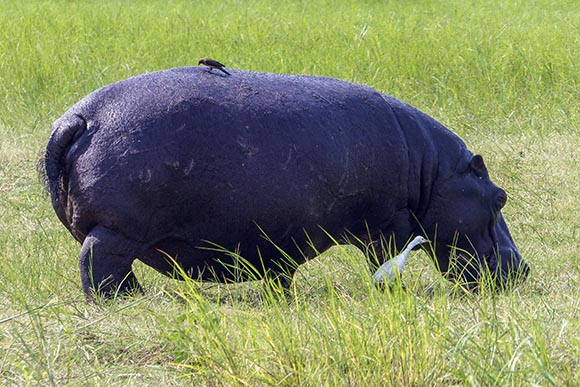 Hippo fully exposed on land.
