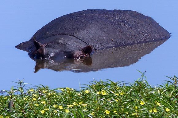 Hippo mostly submerged in the Chobe River.
