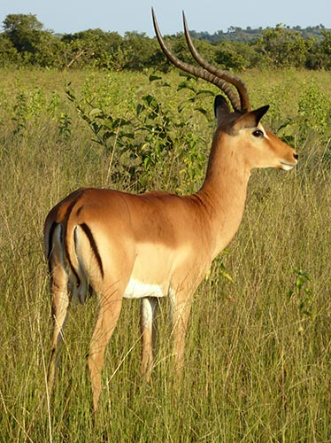 Impala, Chobe National Park.