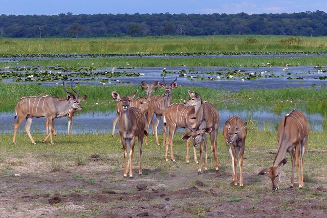A small herd of kudu.
