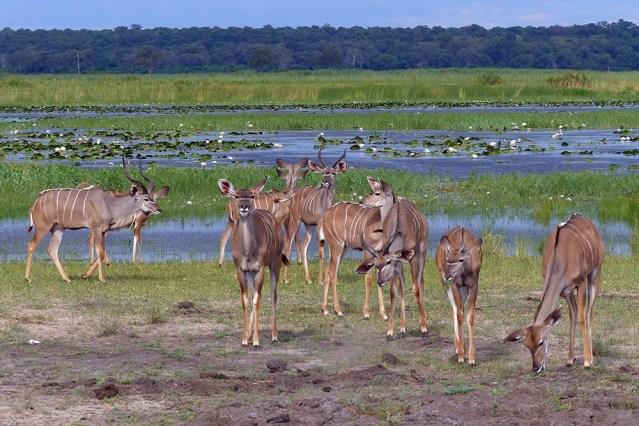 A small herd of kudu.