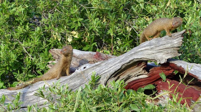 Two slender mongooses on a dead tree trunk.