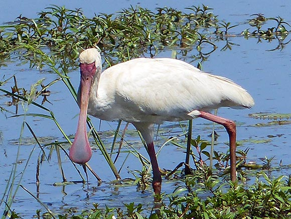 Spoonbill in Chobe National Park.
