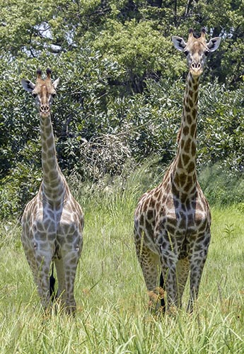 Two giraffes stare back at the camera.