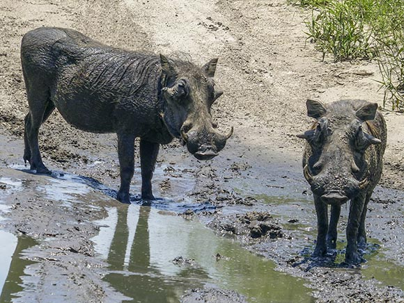 Warthogs in mud puddle.