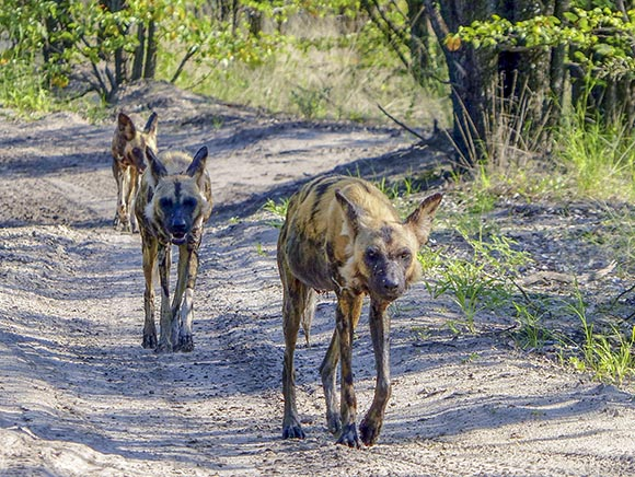 Wild dogs walking down the road.