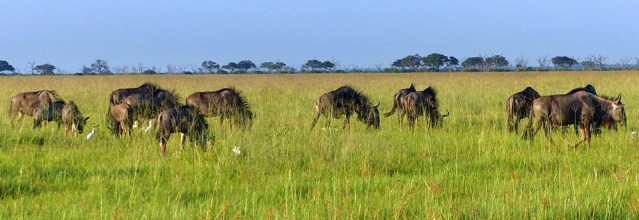 Wildebeest  with their mohawks blowing in the breeze.