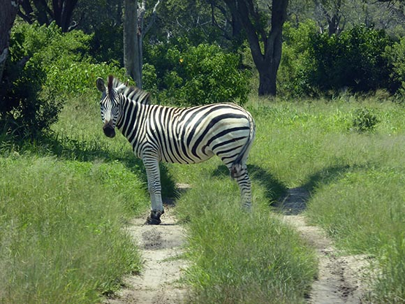 A zebra standing on the sandy track that is our road.