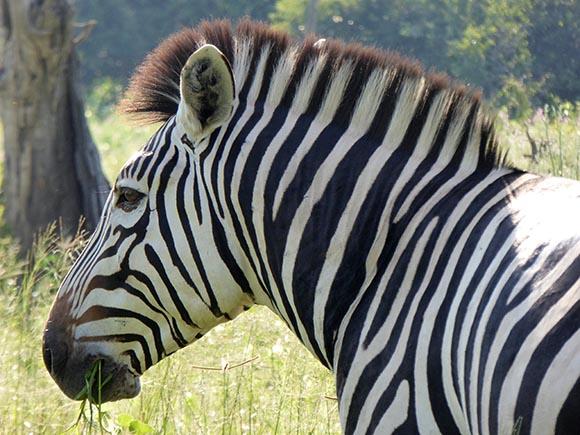 A closeup of a zebra's face and neck.