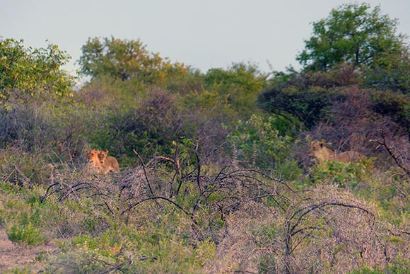 Lions appearing out of the brush where they spent the day sleeping in the shade.
