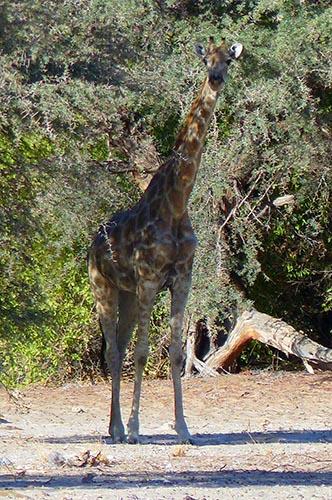 Giraffe in the shade