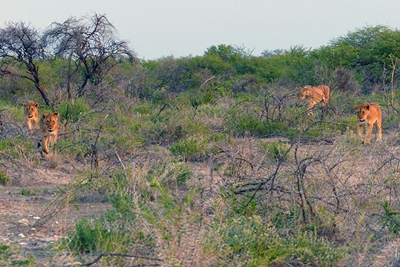 Four lions approach, Etosha National Park