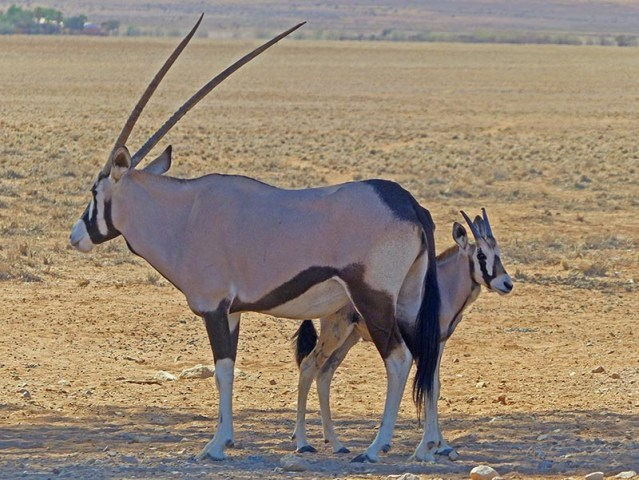 Mom and baby gemsbok, Namibia