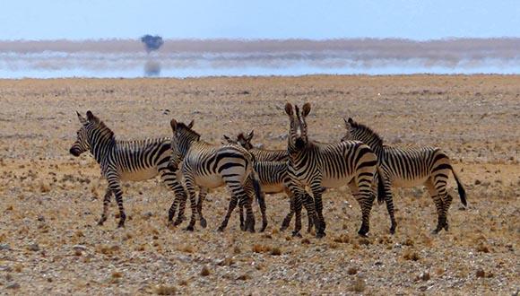 Mountain zebras.