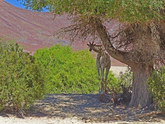 Giraffe under a shady tree.
