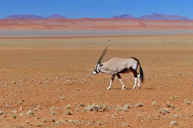 Gemsbok with a broken horn, Namibia