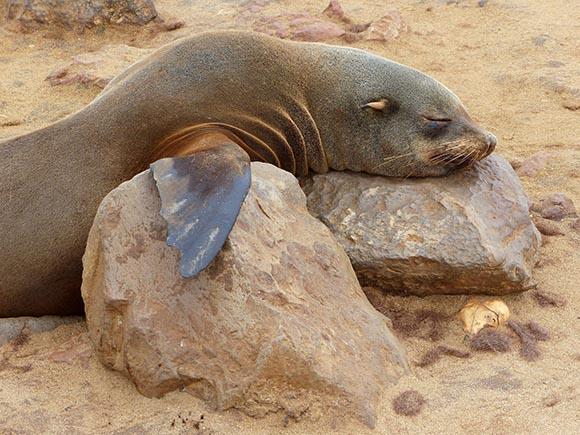 Cape Cross fur seal sleeping on a rock