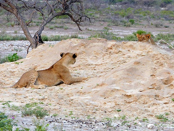 Lions on sand pile, one getting ready to pounce on the other.