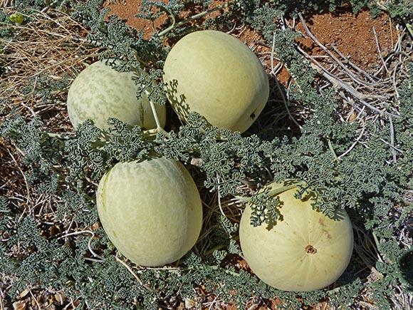 Tsama melons, Namibia