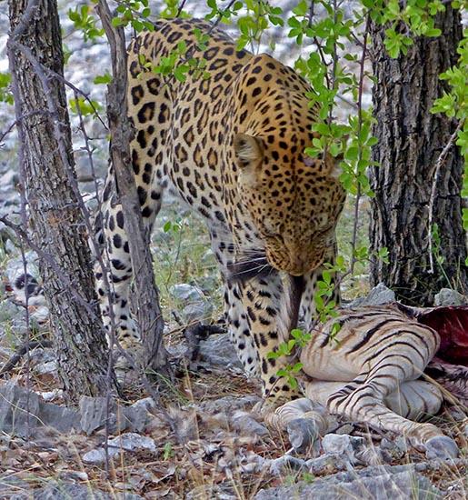Leopard pulling the dead zebra's tail.