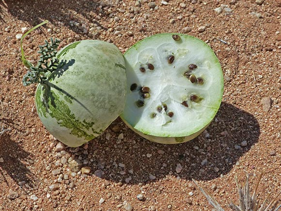 Tsama melon, cut open, Namib Desert, Namibia