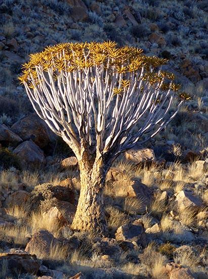 Quiver tree, Tiras Guest Farm, Namibia