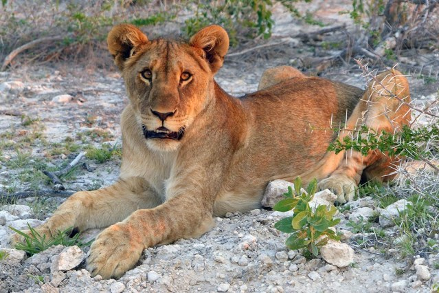 Lion cub, Etosha National Park