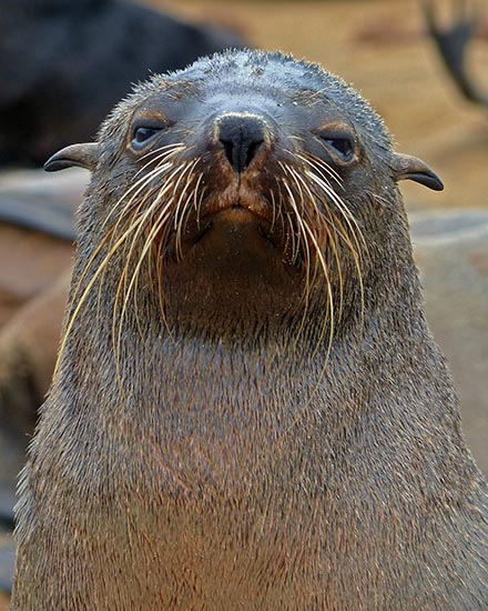 Cape Cross fur seal