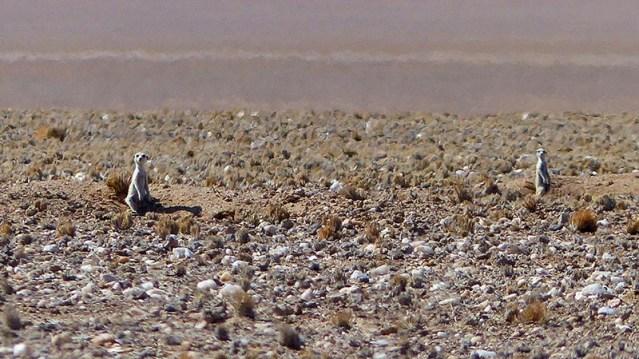 Meerkats (or Suricates), Namib-Naukluft National Park