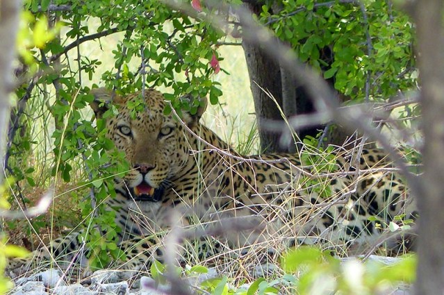 Leopard resting in the shade under a tree.