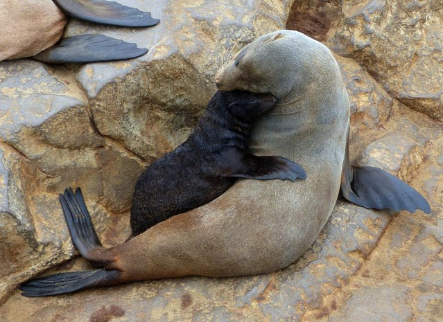 Cape Cross fur seal mom and pup nuzzle