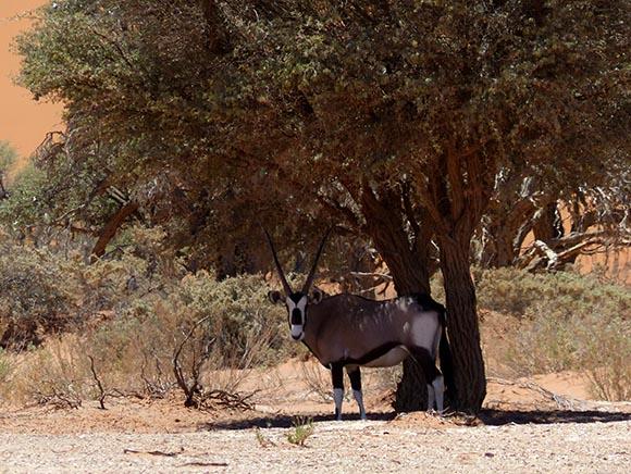 Gemsbok in the shade, Namib-Naukluft National Park