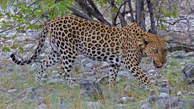 Leopard walking.