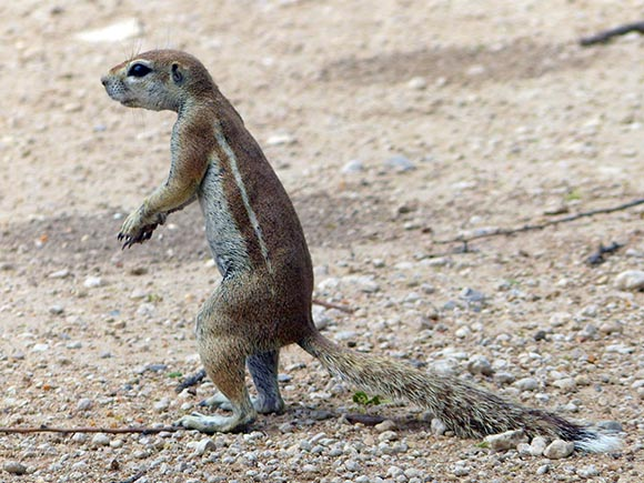 Cape Squirrel, Etosha National Park