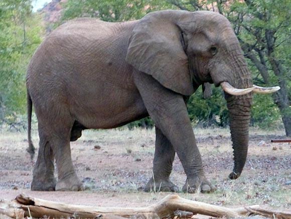 Desert-adapted Elephant, Namibia