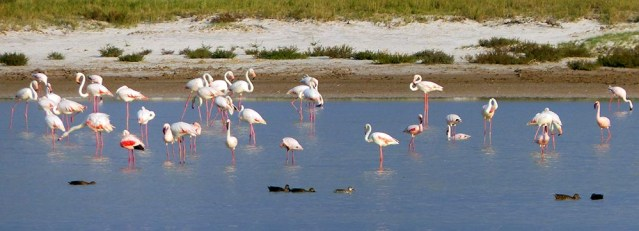 Greater Flamingos, Etosha National Park