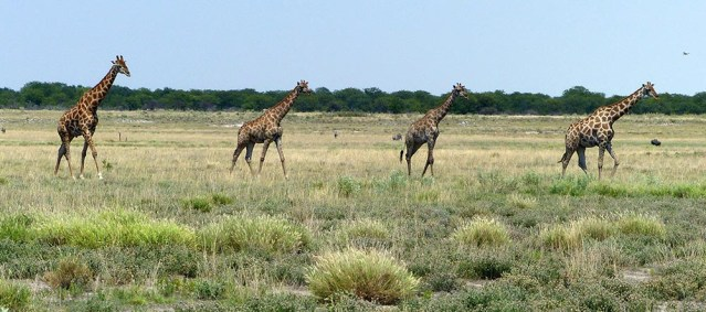 Four giraffes, Etosha National Park