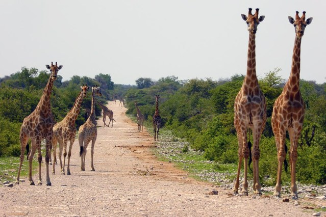 Giraffe Alley, Etosha National Park