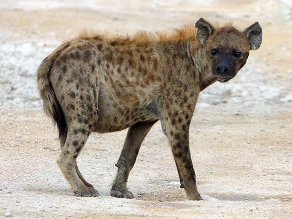 Spotted hyena with a distended belly, Etosha National Park