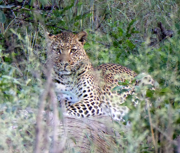 Leopard on a Log, Mahango Core Area, Bwabwata National Park