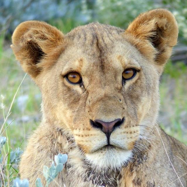 Lioness, Etosha National Park