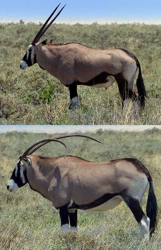 Gemsbok with normal horns, and a gemsbok with curved horns.