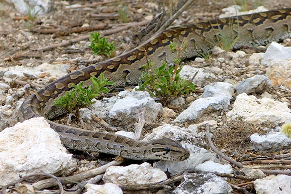 Rock python, Etosha National Park