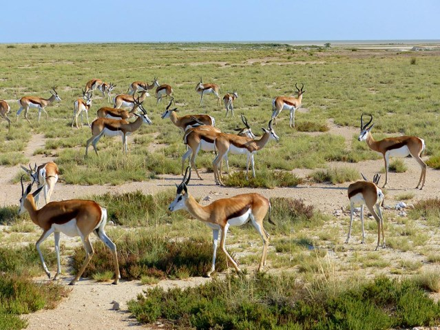 A group of springbok in Etosha National Park