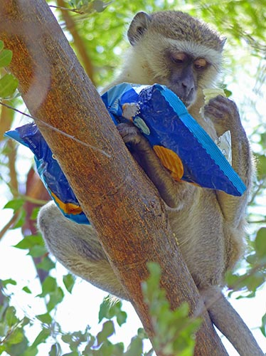 Vervet monkey with stolen bag of chips.