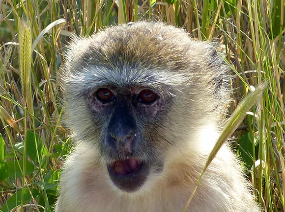 Vervet Monkey, Mahango Core Area, Bwabwata National Park